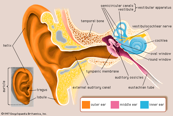 Diagram of outer and inner ear