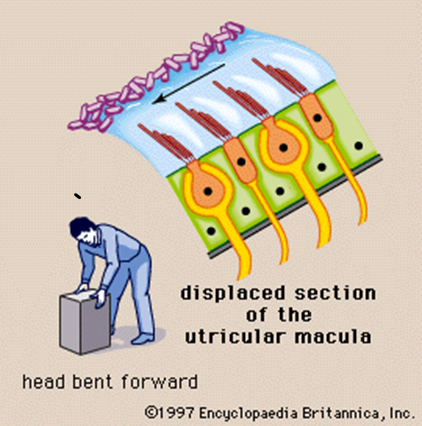 Diagram of displaced section of the utricular macula when your head is bent forward
