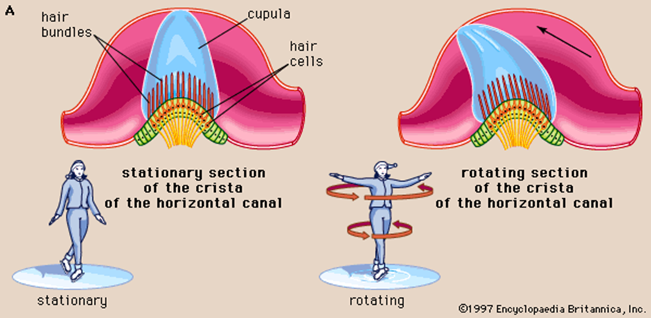Diagram of hair bundles, cupula, and hair cells ash shown in both stationary and rotating sections of the crista of the horizontal canal