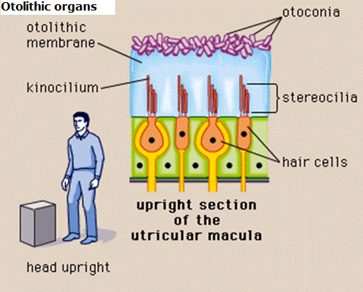 Diagram of otolithic membrane, otoconia, kinocilium, stereocilia, and hair cells as shown in an upright section of the utricular macula with your head upright