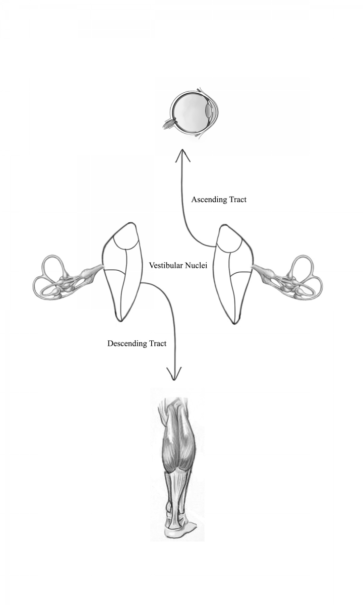 A Patient\'s Guide to the Vestibular System | Vestibular Disorders ...
